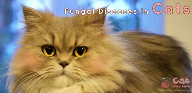 เชื้อราในแมว กันไว้ดีกว่าแก้ เป็นแล้วรักษาได้ !!!