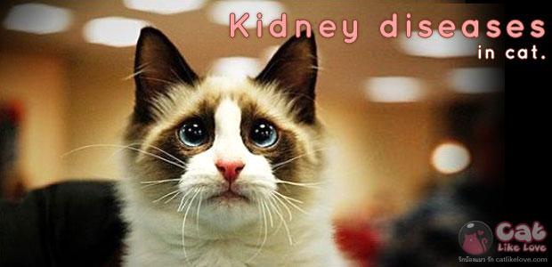 โรคไต…มหันตภัยเงียบคุกคามแมว