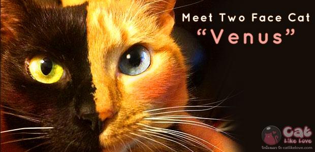 """แมวสองหน้า """"วีนัส"""" ขวัญใจโลกออนไลน์"""