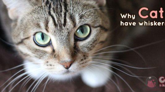 [Knw] ทำไมแมวถึงมีหนวด?